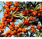 Buy cheap Organic Seabuckthorm fruit juice powder/Seabuckthorm fruit powder from wholesalers