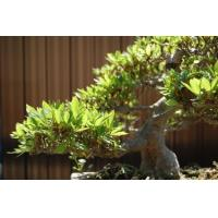 Buy cheap ficus microcarpa bonsai tree (evergreen tree) Nursery from wholesalers