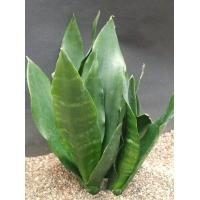 Buy cheap Tropical Container plants & bonsai (golden sansevieria) from wholesalers