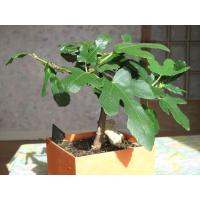 Buy cheap Artificial bonsai ficus microcarpa (Grafted) from wholesalers