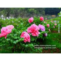 Buy cheap Chinese Tree Peony for Sale Online from Peony Nursery from wholesalers