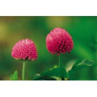 Buy cheap High Quality 8% Isoflavones HPLC Red Clover Extract -Trifolium pretense L. from wholesalers