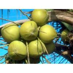 Buy cheap Natural Light Yellow Fine Powder Serenoa Serrulata Extract , fatty Acid from wholesalers