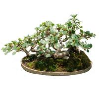 Buy cheap (Grafted taiwan ficus) Ginseng ficus mini bonsai from wholesalers
