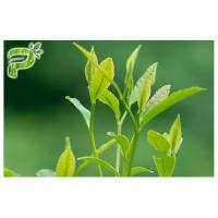 Buy cheap Green Tea Plant Extract Powder Preventing Radical Symptoms Polyphenols 95% UV Test from wholesalers