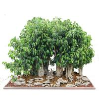 Buy cheap Mini bonsai plant--Ginseng Ficus from wholesalers