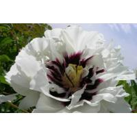 Buy cheap zhongchuan white,red,pink,blue,yellow rockii peony seedings with good peony price from wholesalers