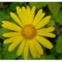 Buy cheap Arnica Flower Extract 10:1  used for skin care products, skin fresheners, shampoos, from wholesalers
