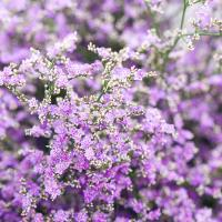 Buy cheap Fresh cut flowers limonium flower name Love grass from flower base hot selling flower gifts from wholesalers