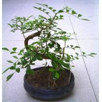 Buy cheap Bonsai Tree Murraya from wholesalers