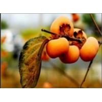 Buy cheap Persimmon Extract 40-50% Polyphenols (UV) / 30-40% Total Flavonon from wholesalers
