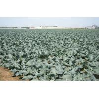 Buy cheap Organic IQF Green Organic Frozen Broccoli Anti-Carcinogenic , Plastic Sheeting, Nutritious from wholesalers