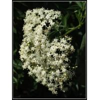 China Elderberry Extract (windy@nutra-max.com) on sale