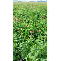 Buy cheap Herb Medicine 100% Natural echinacea purpurea extract in bulk with Cichoric Acid 1%, 2%, 3%, 4%; Polyphenols from wholesalers