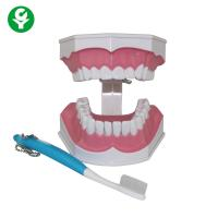 Buy cheap Human Teeth Model For Dental Students Tooth Brushing Education Demonstrating from wholesalers