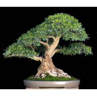 Buy cheap Ficus Microcarpa Bonsai Trees Nursery from wholesalers