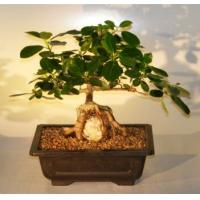 Buy cheap Indoor shaped ficus microcarpa bonsai tree from wholesalers