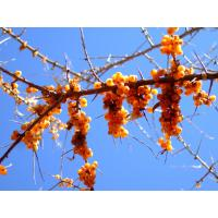 Buy cheap Sea Buckthorn Extract from wholesalers