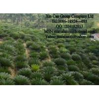 Buy cheap Cycas revoluta,  palm tree,  bonsai from wholesalers
