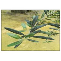 Olive Leaf Plant Extract Powder Hydroxytyrosol 20% Anti Inflammatory HPLC Test