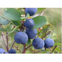 Buy cheap Blueberry Extract Anthocyanidin from wholesalers