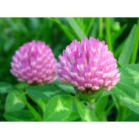 Buy cheap Cas. no.: 85085-25-2 Red Clover Extract  total Isoflavones,formononetin,biochanin a from wholesalers