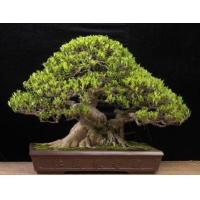 Buy cheap Outdoor Large Bonsai Tree (Ficus benjamina cages) from wholesalers