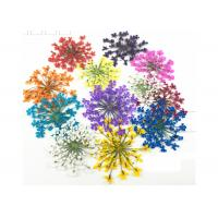Buy cheap Mixed Color Minoan Lace Real Pressed Flowers Diameter 25MM For Crystal Epoxy Jewelry from wholesalers