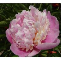 Buy cheap offer  herbaceous peony plants with good peony price from wholesalers