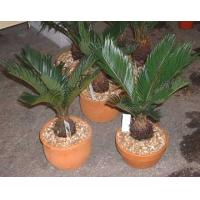 Buy cheap indoor landscape (Cycas revoluta bonsai trees) from wholesalers