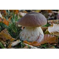 China Boletus edulis, known as the Cep, Porcino or Penny-bun Bolete, is a most sought-after edible bolete. on sale