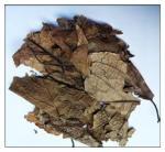 Buy cheap Cortex Eucommiae Leaf,leaf of Eucommia ulmoides Oliver,Eucommiae Folium from wholesalers