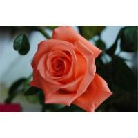 Buy cheap Beautiful Fresh cut flowers pink rose  for flower gifts film star ROSE  from flower base best to flower shop from wholesalers