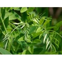 Buy cheap 11.65% Sophora Root Flavescens Ait Root Alkaloida Sopnorae Tannatis Herbal Medicine from wholesalers