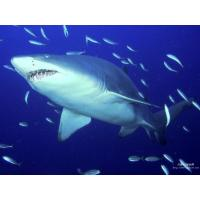 Buy cheap Chondroitin sulfate Shark Cartilage CHS from wholesalers