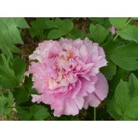 Buy cheap wholesale pink Chinese tree peony plants with good peony price from wholesalers