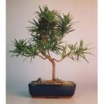 Buy cheap Garden plants -- big Podocarpus bonsai from wholesalers