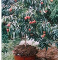 Buy cheap Fruit trees : Leechee,Litchi,Litchi chinensis,Lichee,Seedless litchi from wholesalers
