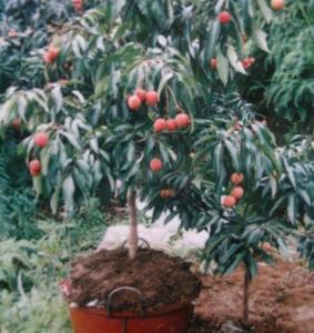 bonsai fruit trees - quality bonsai fruit trees for sale Leeches Fruit Tree