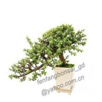 Buy cheap Crassula/Cascade/Bonsai/Potplant/Indoor Plant from wholesalers