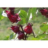 Buy cheap Roselle extract, Hibiscus Sabdariffa Extract, 10%-50% Polyphenols, 5%-25% Anthocyanidins from wholesalers