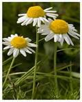 Buy cheap Factory supply high quality ingredient Chamomile Flowers Extract, Apigenin 98% HPLC, CAS No.:520-36-5 from wholesalers