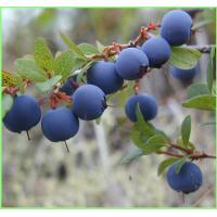Buy cheap Bilberry extract---New Mstar---Simin from wholesalers