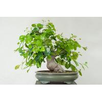 Buy cheap Large Outdoor plants (Ficus woody plants bonsai trees) from wholesalers