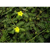 Buy cheap Hot Sale Tribulus terrestris Extract Saponins / Protodioscin from wholesalers