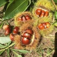Buy cheap Medical Grade Plant Extract Powder Horse Chestnut Extract For Reduce Edema from wholesalers
