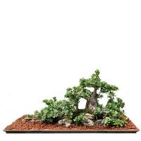 Buy cheap Large outdoor ficus microcarpa Bonsai Trees from wholesalers