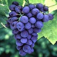 Buy cheap Grape seed Extract/ Vitis vinifera extract from wholesalers
