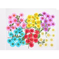 China Needle Chrysanthemum Small Dried Flowers 6 Different Colors For Epoxy Handsets / Postcards on sale