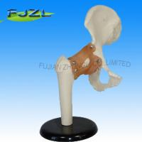 Buy cheap life size medical teaching deluxe functional hip joint model product